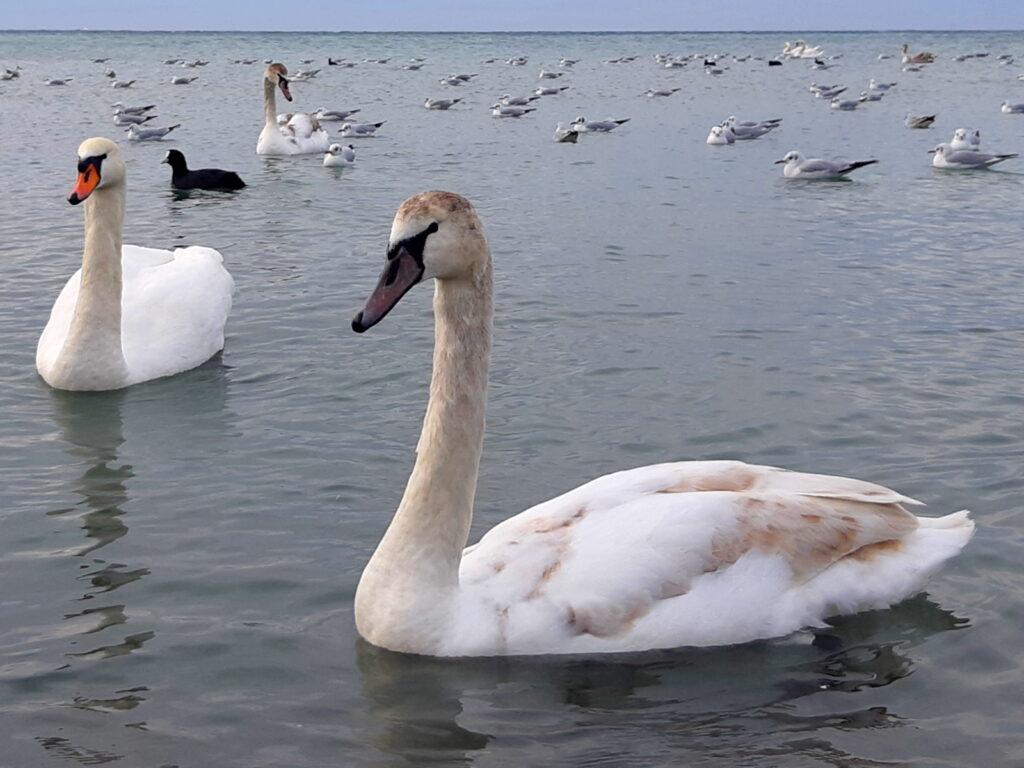 ебеди на Черном море в Анапе